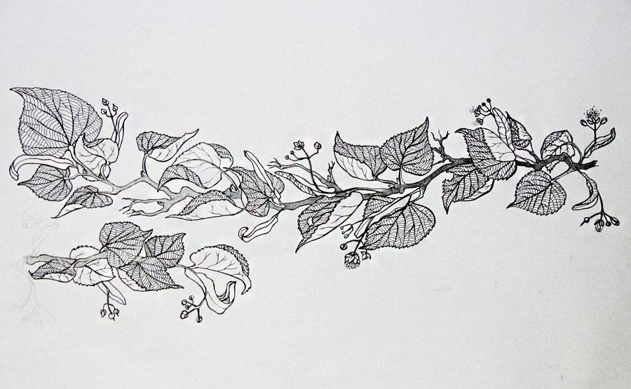 branche de tilleul dessin